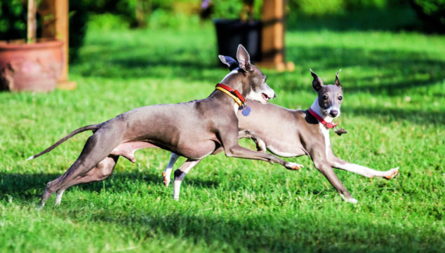 Two Italian Greyhound dogs running on green grass