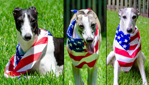 Collage of 3 whippet dogs wearing an American flag bandana