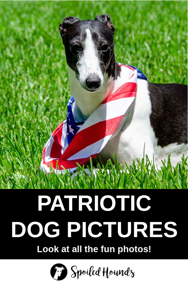 Black and white whippet dog wearing an American flag bandana