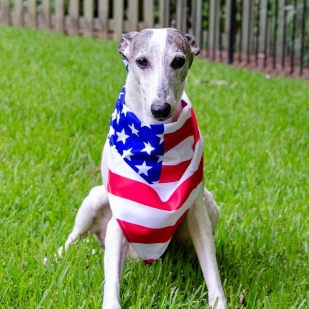 Whippet wearing an American flag bandana