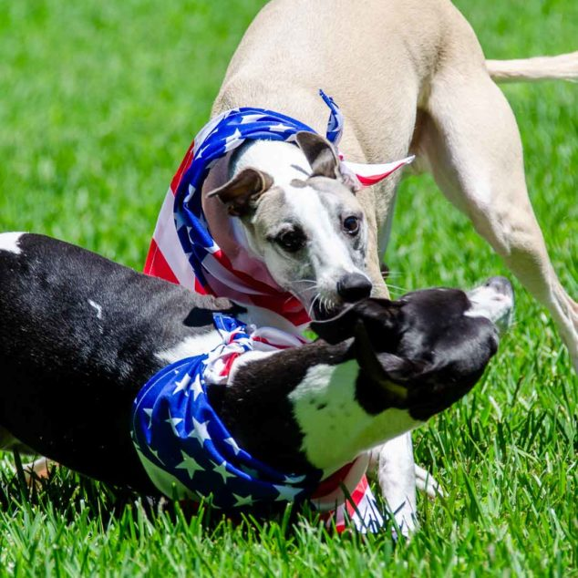 Two whippet dogs wearing flag bandanas playing together