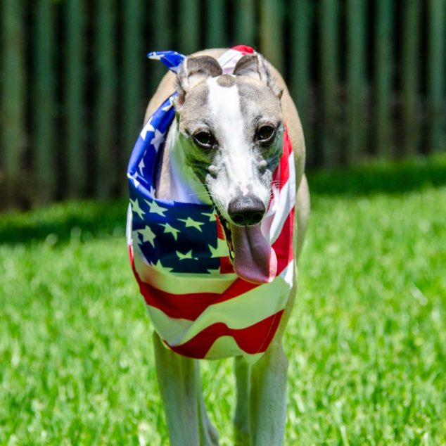 Whippet dog wearing a flag bandana