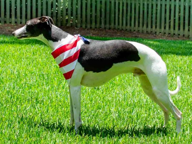 Black and white whippet dog wearing a flag bandana