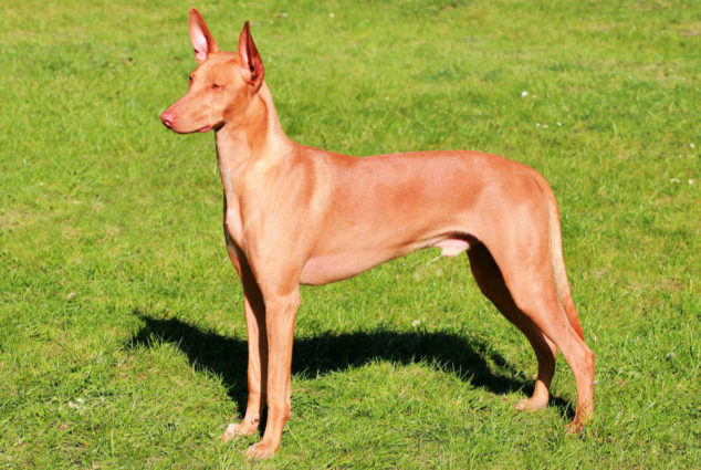 Pharaoh Hound dog standing on green grass