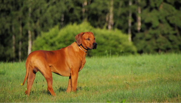 Rhodesian Ridgeback dog standing on a field