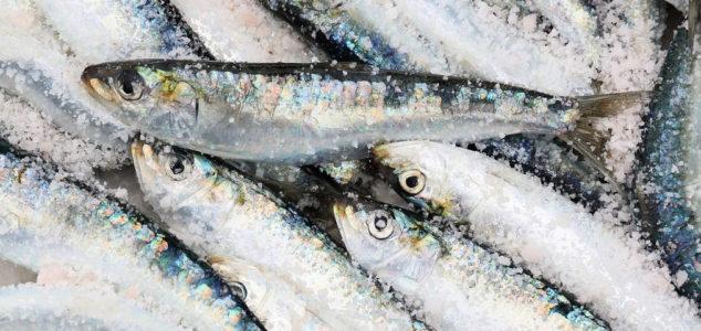Fresh caught sardines