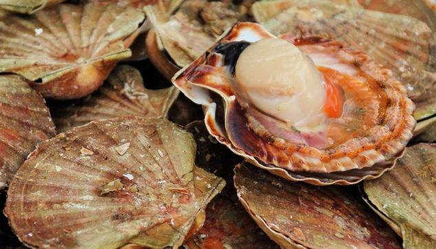 Fresh scallop and scallop shells