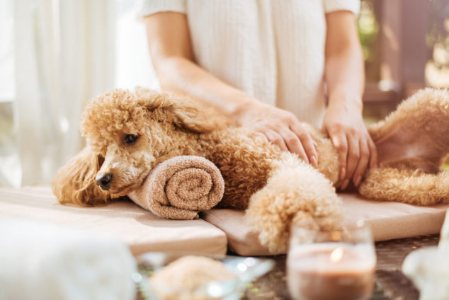 poodle getting a massage at a spa