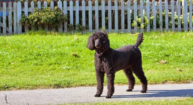 Standard Poodle dog standing on a sidewalk