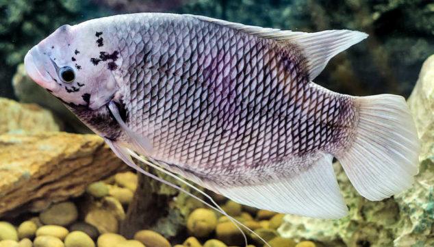 Tilapia fish in a tank