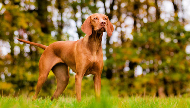 Hungarian Vizsla dog standing on a field