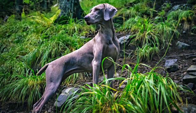 Weimaraner dog standing on a hill