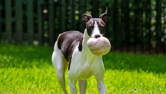 Black and white whippet dog holding a baseball dog toy in its mouth