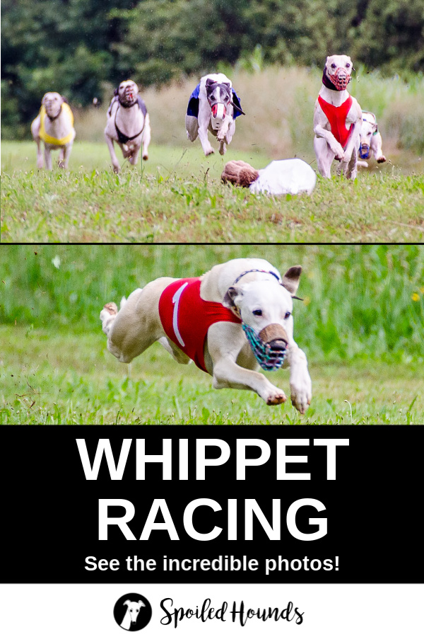 Collage of whippets running in a race