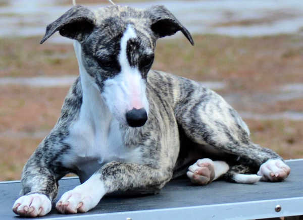 Brindle whippet puppy on a table.