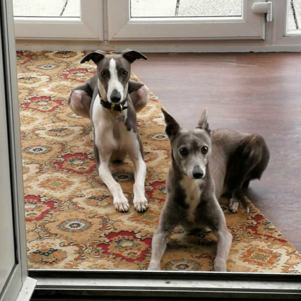 Two whippets lying on a rug.