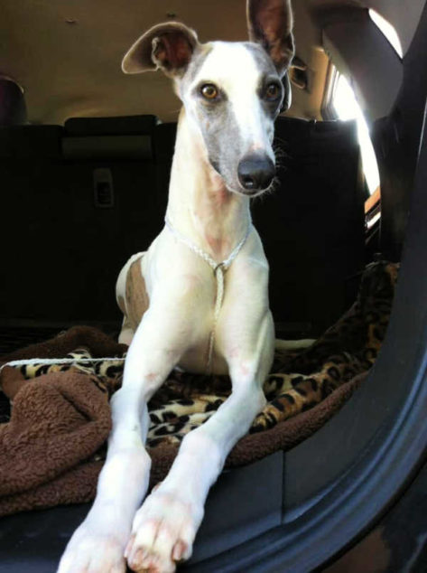 Whippet in the back of a car.