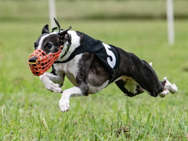 Black and white whippet running and wearing a red muzzle