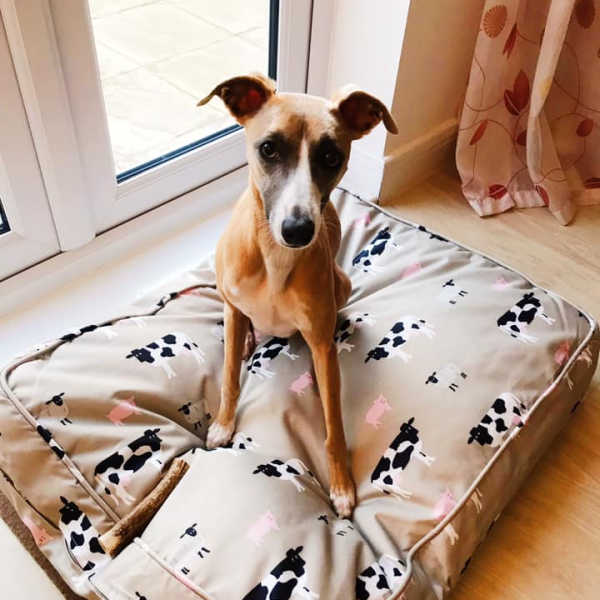 Whippet sitting on a dog bed.