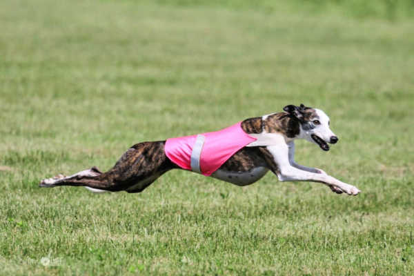 Whippet running and wearing a racing vest.