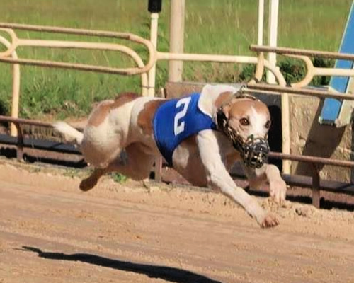 Whippet running on a race track.