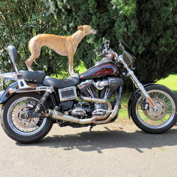 Whippet standing on a Harley Davidson motorcycle.