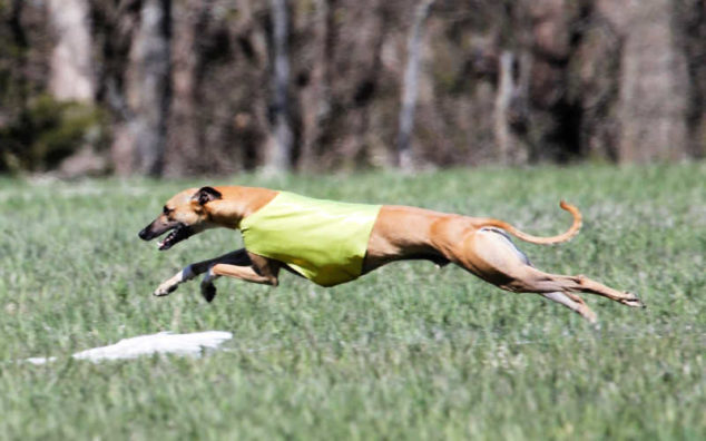 Whippet running and wearing a yellow racing jacket.