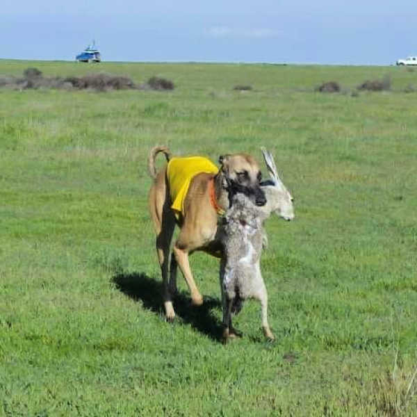 Whippet carrying a hare in its mouth.