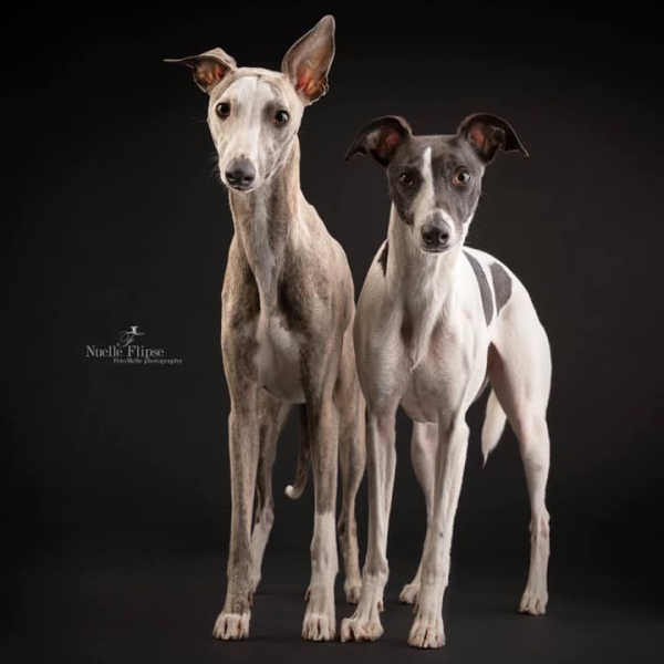Two whippet dogs standing next to each other.