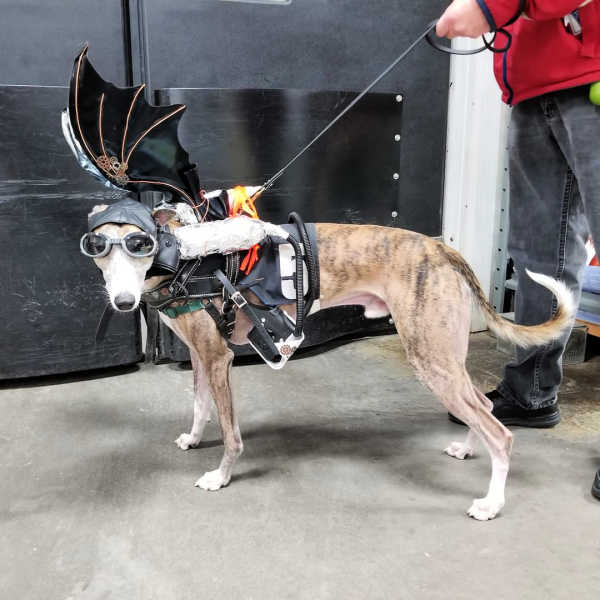 Whippet wearing a steampunk costume