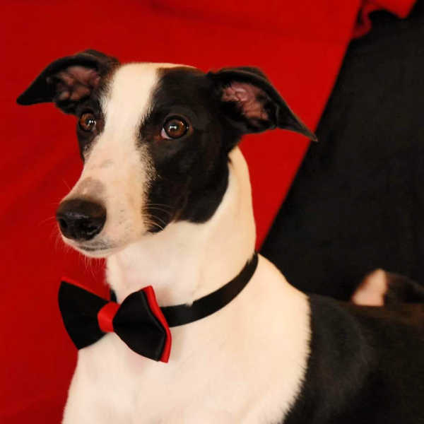 Black and white whippet wearing a bowtie collar.