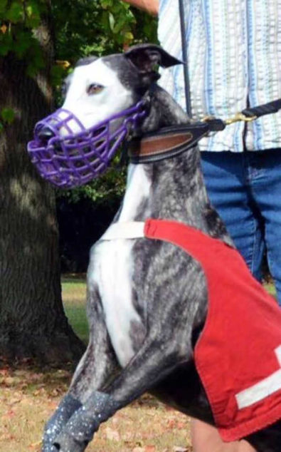 Whippet wearing a racing muzzle and jacket