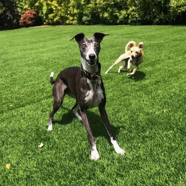 Black whippet standing on green grass with another dog behind it.