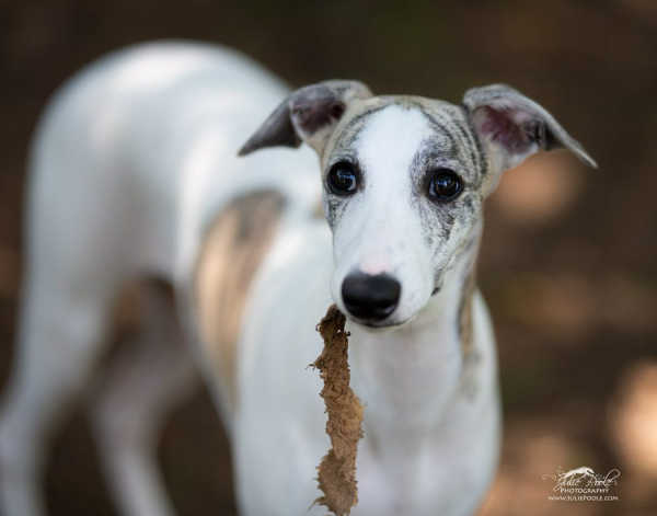 White whippet with brindle spots