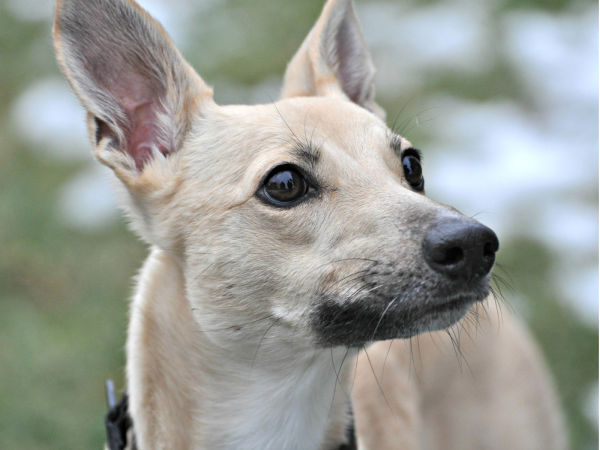 Fawn colored whippet