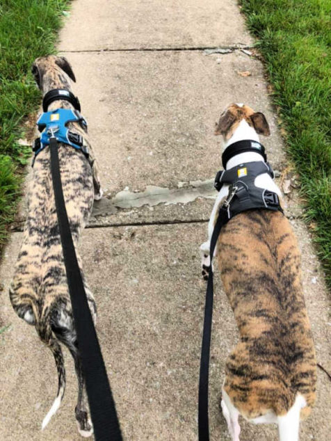 Two whippets on a walk wearing dog harness.