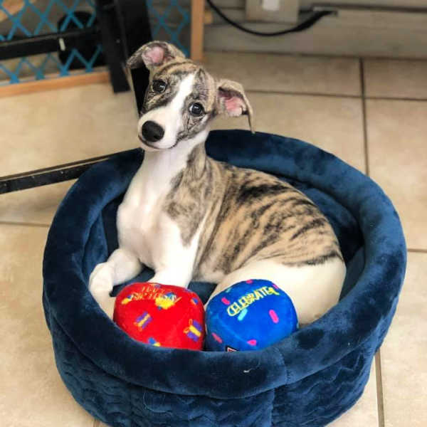 Whippet puppy sitting in a dog bed.