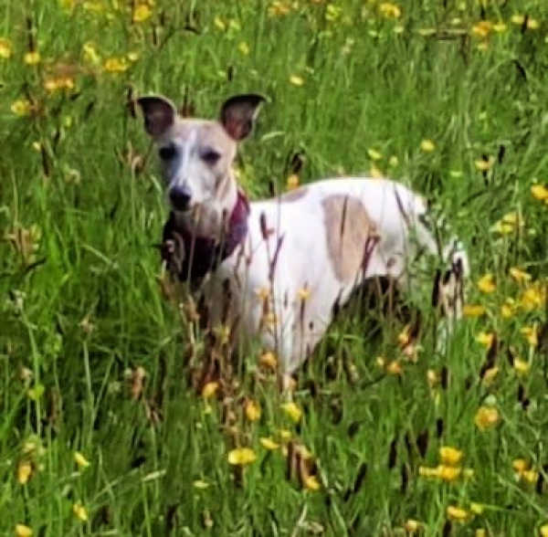 White whippet with brown spots standing in a field with yellow flowers.