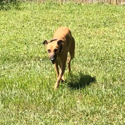 Brown whippet walking on green grass