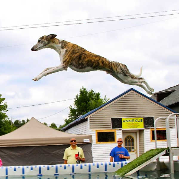 Whippet jumping off a dock for dock diving competition.