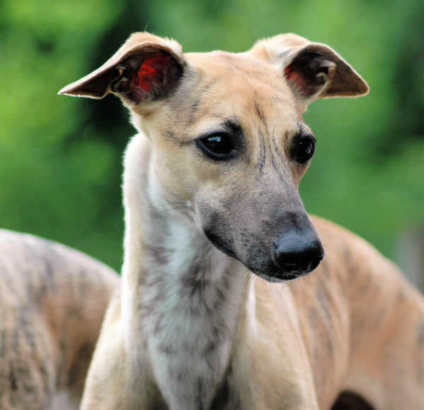 Tan brindle whippet face