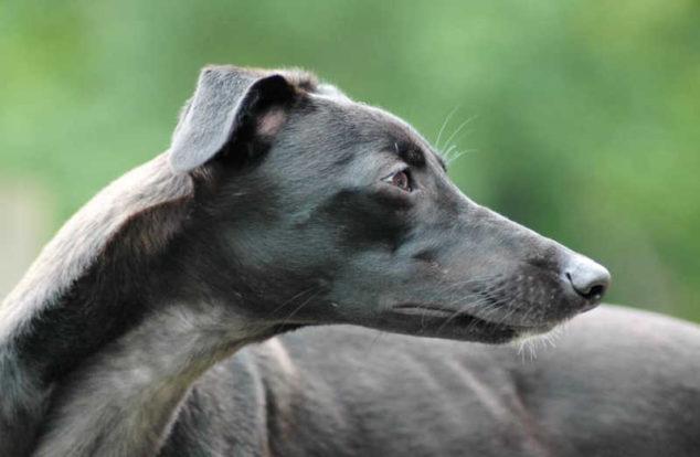 Black whippet dog
