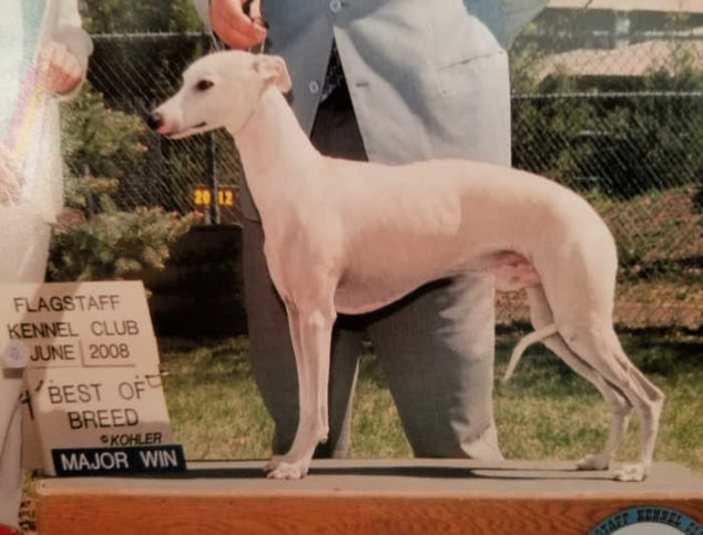 Fawn whippet best of breed competition winner.