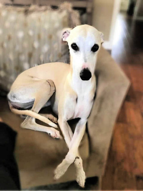 Fawn whippet sitting on a couch.