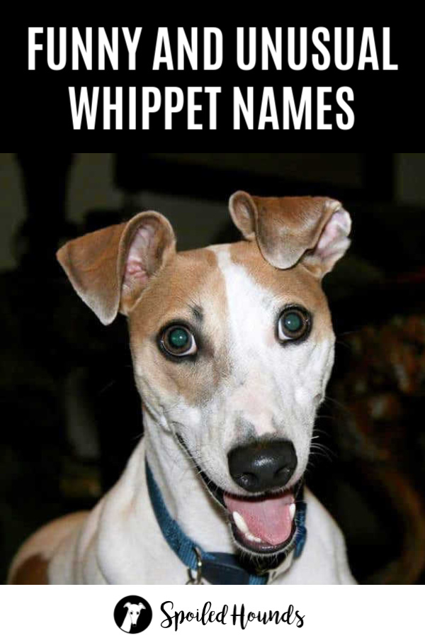 Face of a brown and white whippet dog.