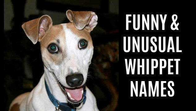 Brown and white whippet dog