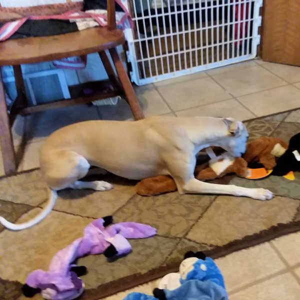 Brown whippet lying on a rug with dog toys.