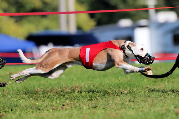 Whippet running across a field.