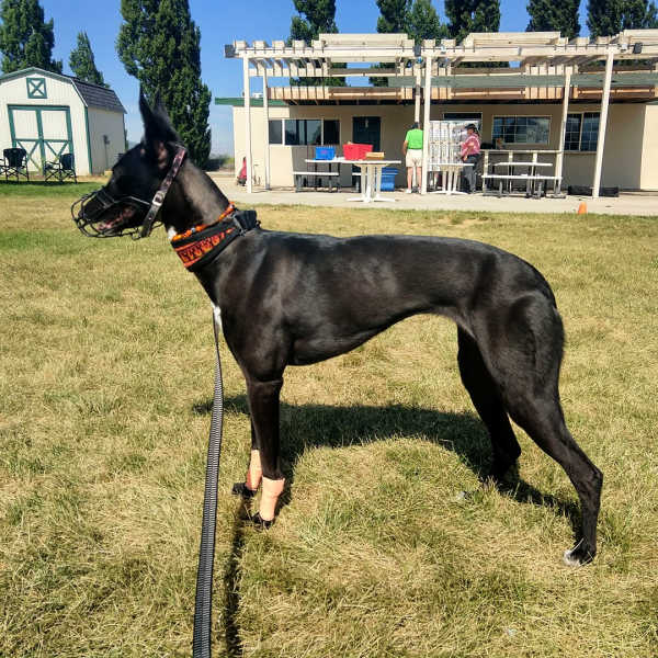 Black whippet wearing a muzzle standing on grass