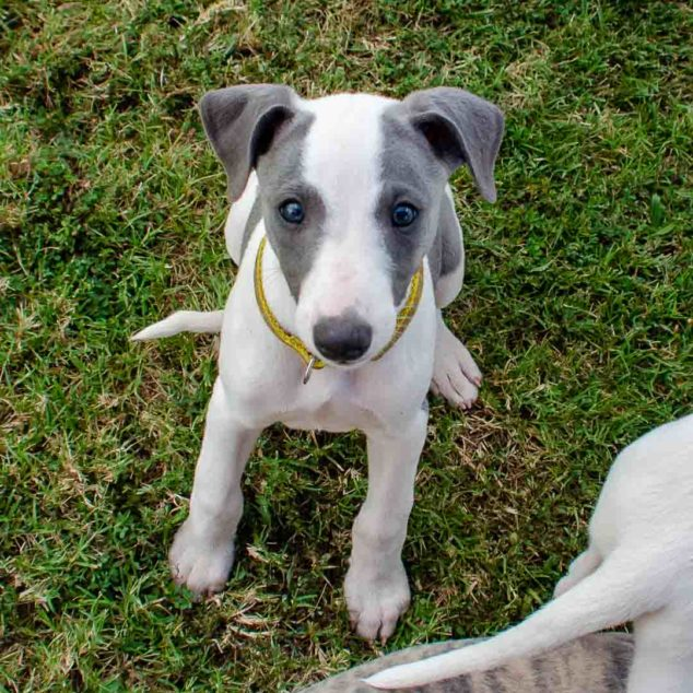 Whippet puppy wearing a collar.